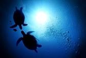 キバラガメ(イエローベリータートル)の飼育