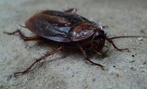 ゴキブリの飼育