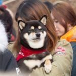 柴犬の飼育
