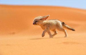 フェネック砂漠