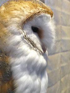 メンフクロウ