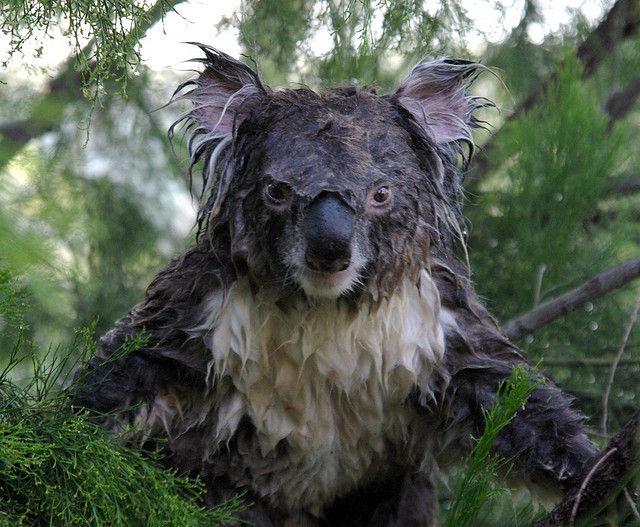 コアラの表情
