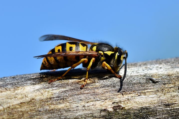 ハチクマ スズメバチ 鳴き声