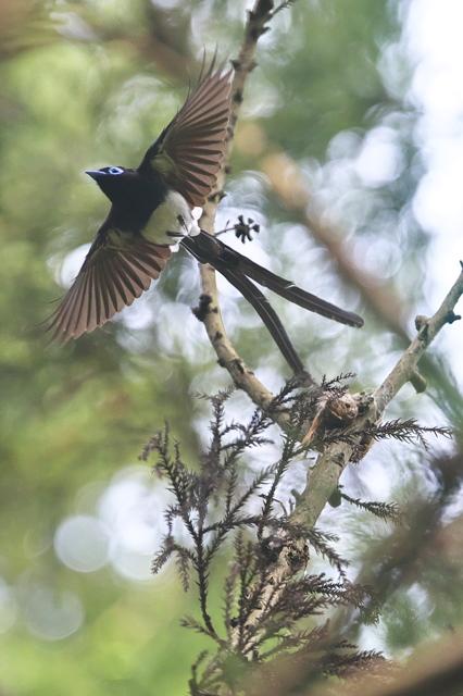 サンコウチョウ  鳴き声 特徴
