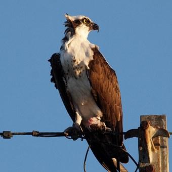 ミサゴ 鳴き声 鳥